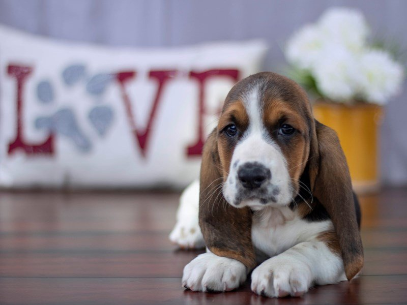 Basset Hound-Male-Tri-Colored-2213312-Petland Lewis Center