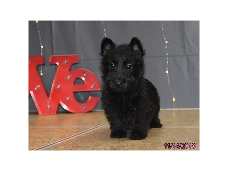 Scottish Terrier-Male-Black-2218116-Petland Lewis Center