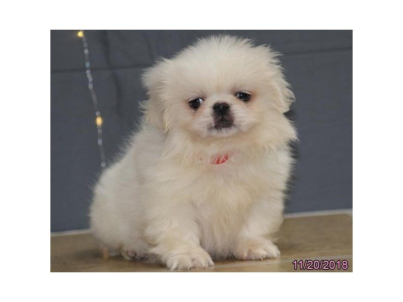Pekingese-Female-White-2222279-Petland Lewis Center