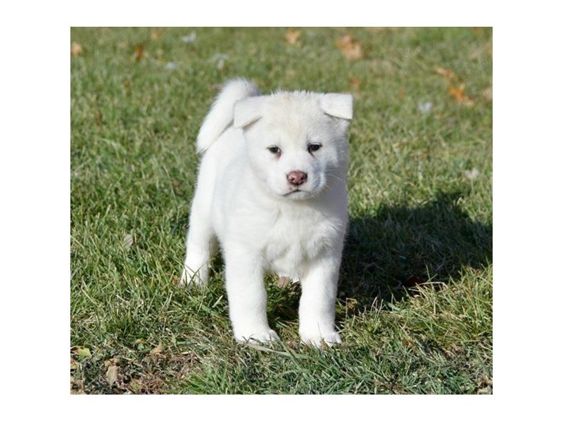 Akita-Female-White-2227369-Petland Lewis Center