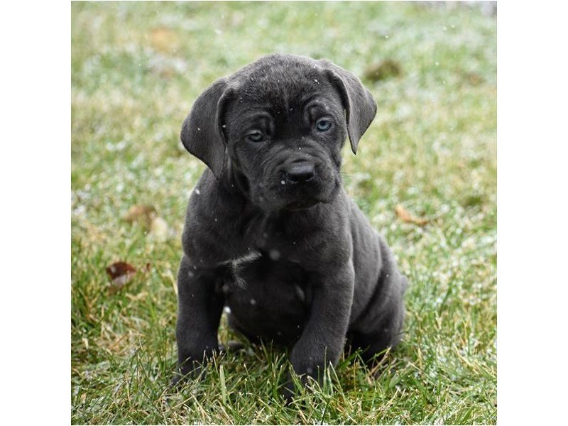 Cane Corso-Female-Blue-2239454-Petland Lewis Center