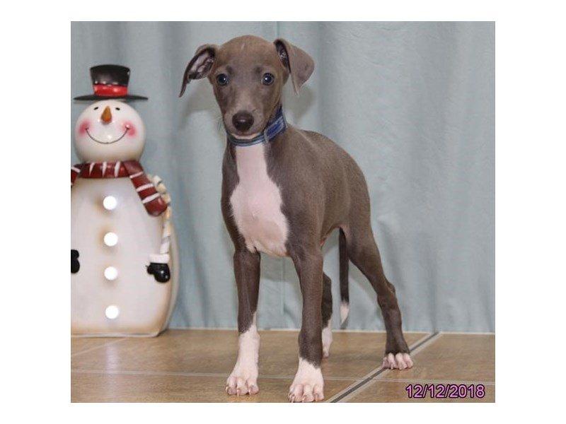 Italian Greyhound-Male-Blue-2239474-Petland Lewis Center