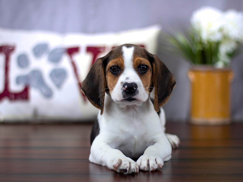 Beagle-DOG-Male-Tri-Colored-2194803-Petland Lewis Center