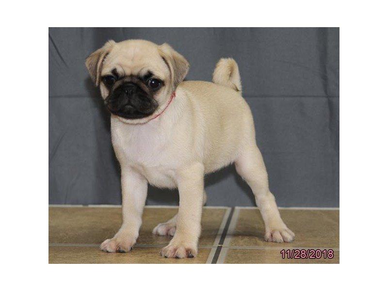 Pug-Female-White-2227376-Petland Lewis Center