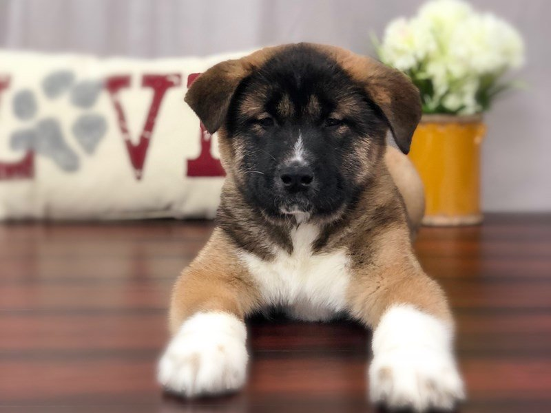 Akita-Male-Black / Tan/  White-2232862-Petland Lewis Center