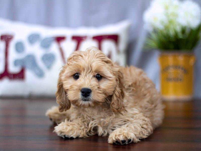 Cavapoo-DOG-Female-Tan-2239450-Petland Lewis Center