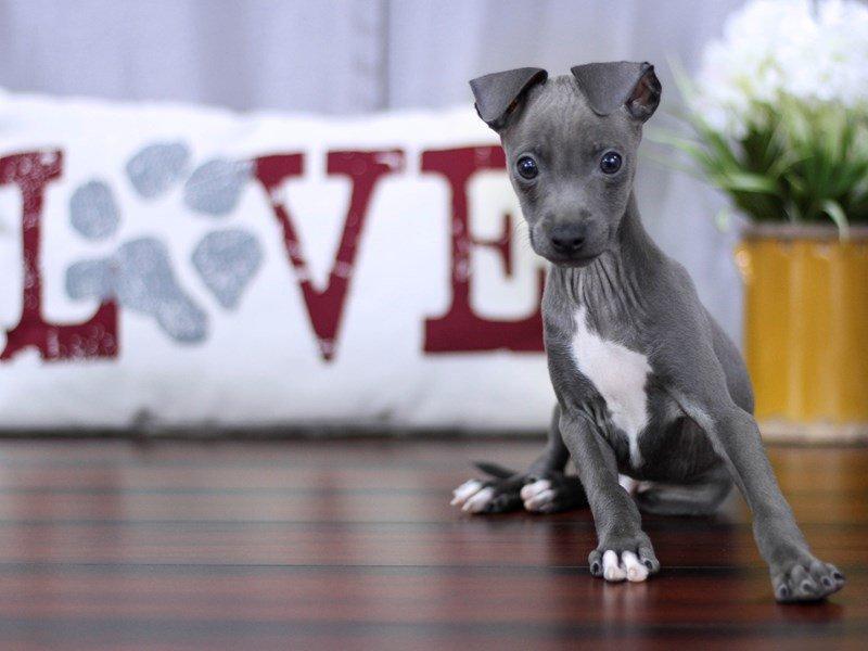 Italian Greyhound-Male-BL, WH MKGS-2253968-Petland Lewis Center