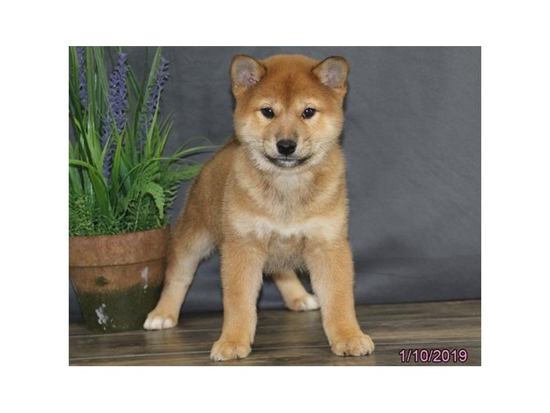 Shiba Inu-DOG-Male-Red Sesame-2259351-Petland Lewis Center