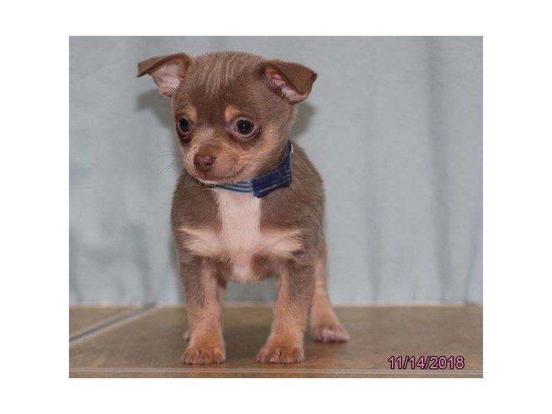 Chihuahua Dog Male Blue Fawn 2218121