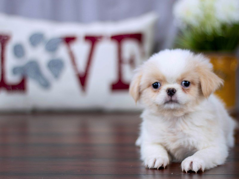 Japanese Chin-Male-Fawn / White-2239466-Petland Lewis Center