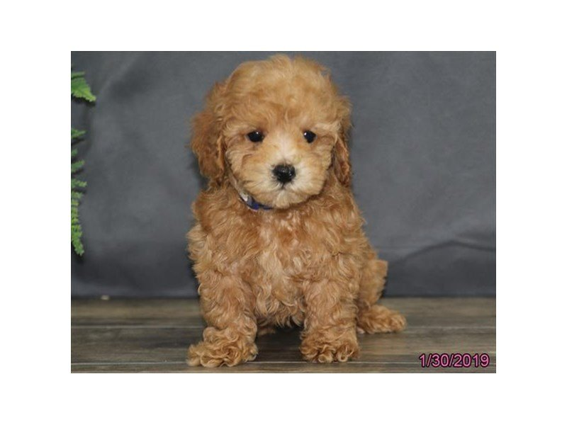 Poodle-Male-Red-2275172-Petland Lewis Center