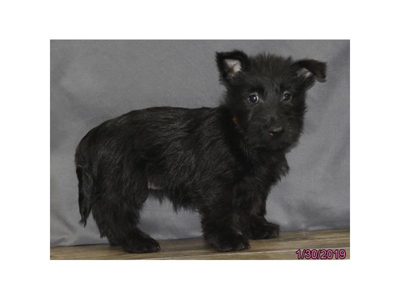 Scottish Terrier-Female-Black-2275173-Petland Lewis Center