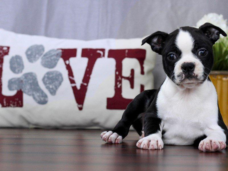 Boston Terrier-Female-Black / White-2280548-Petland Lewis Center