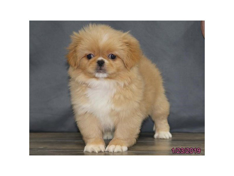 Pekingese-Female-Fawn-2270293-Petland Lewis Center