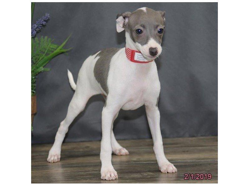Italian Greyhound-Female-Blue-2275189-Petland Lewis Center