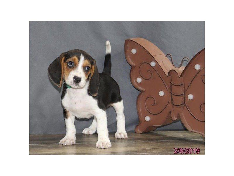 Beagle-Female-Tri-Colored-2280545-Petland Lewis Center