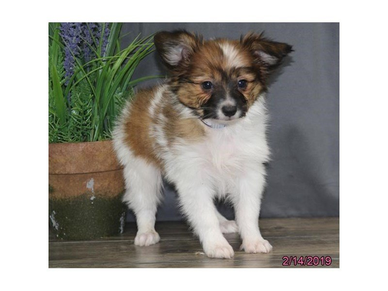 Papillon-Male-Brown / White-2285986-Petland Lewis Center