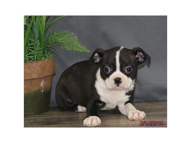 Boston Terrier-DOG-Female-Black / White-2291696-Petland Lewis Center