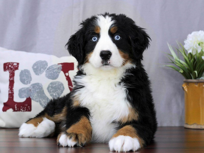 Bernese Mountain Dog Dog Female Black Rust White 2291693