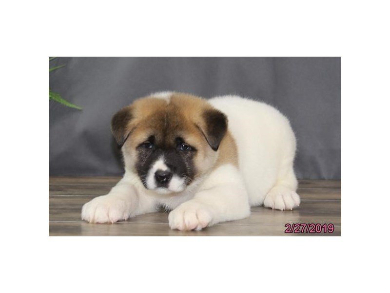 Akita-Female-Brown / White-2297404-Petland Lewis Center