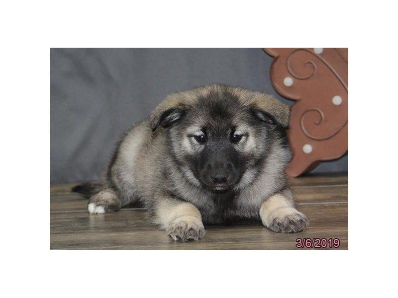 Norwegian Elkhound-Female-Gray Black / Silver-2303164-Petland Lewis Center