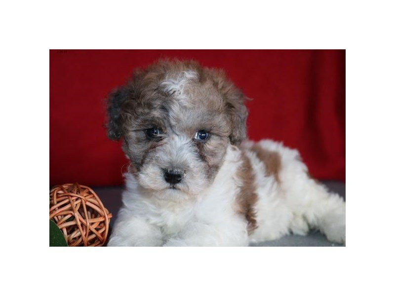 Schnoodle-Female-Sable / White-2303177-Petland Lewis Center