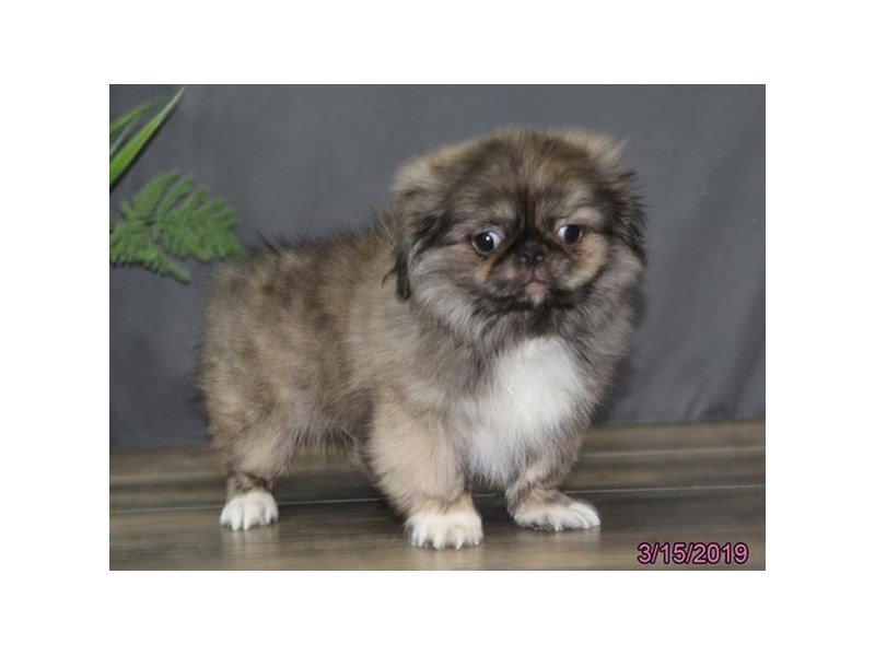 Pekingese-Male-Sable-2308665-Petland Lewis Center