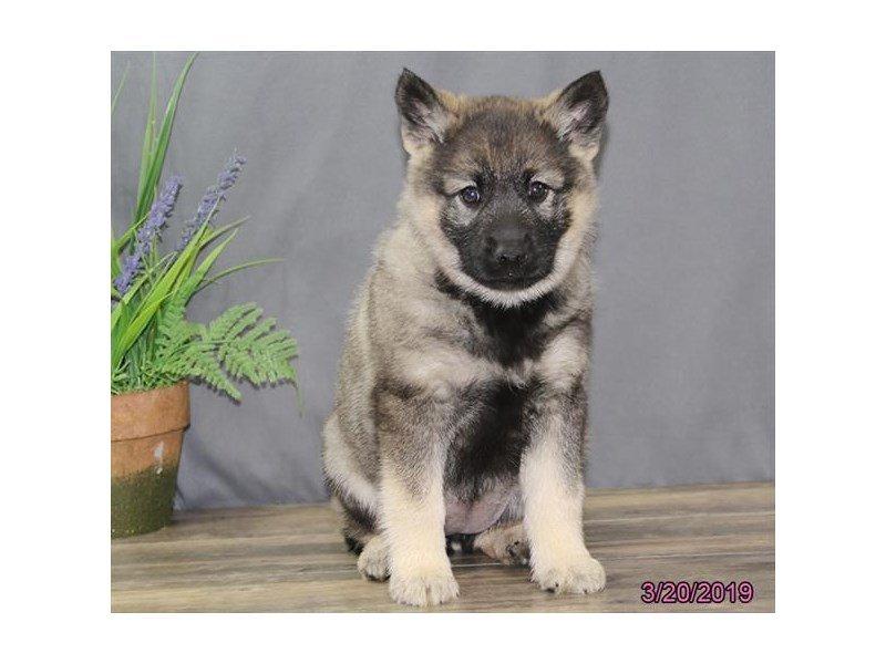 Norwegian Elkhound-Female-Black / Silver-2314092-Petland Lewis Center
