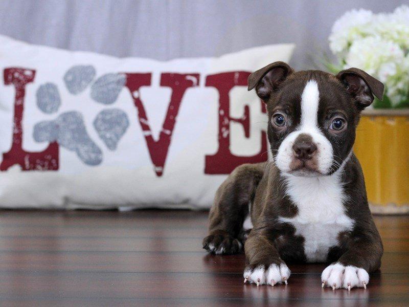Boston Terrier-Male-Seal / White-2285984-Petland Lewis Center
