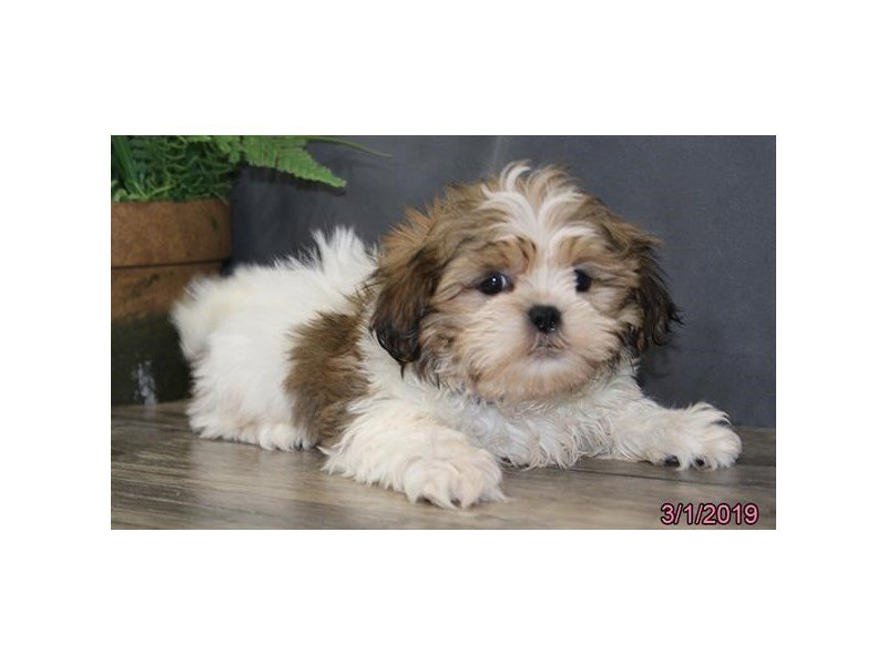 Shih Tzu-Male-Red / White-2295134-Petland Lewis Center