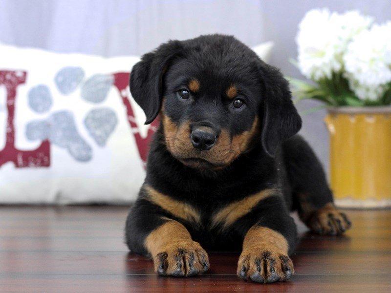 Rottweiler-Female-Black / Tan-2319416-Petland Lewis Center