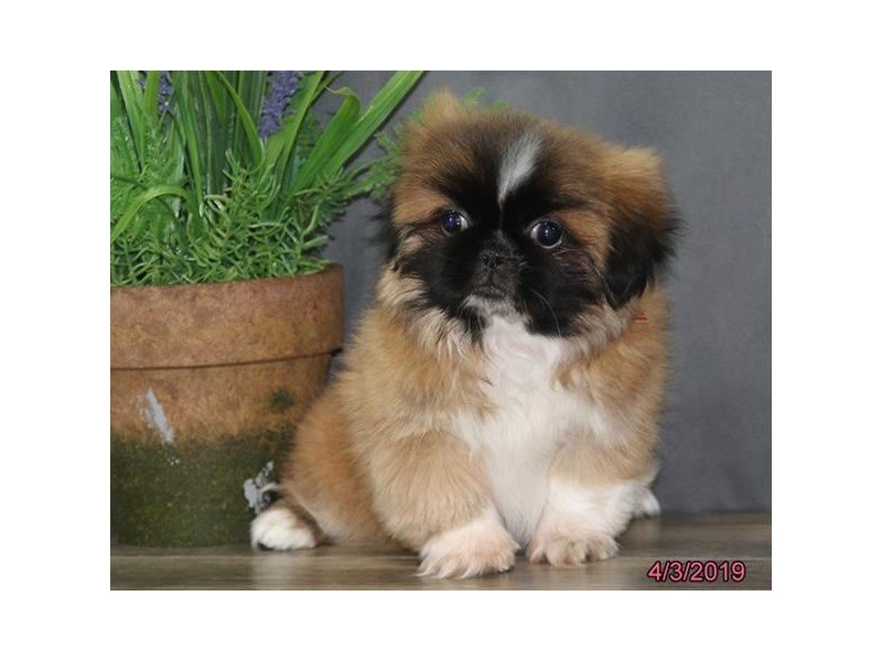Pekingese-Female-Red-2322917-Petland Lewis Center