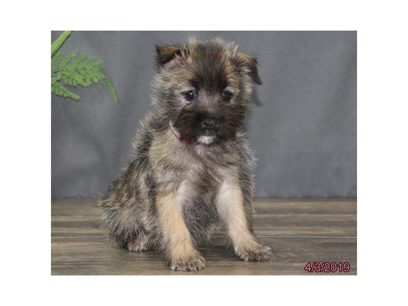 Cairn Terrier-Female-Wheaten-2322921-Petland Lewis Center