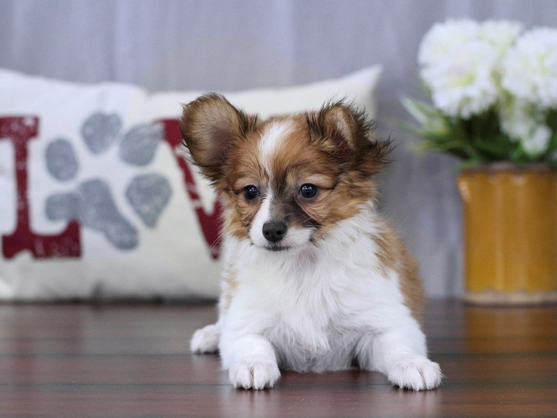 Papillon-Female-Brown / White-2322922-Petland Lewis Center