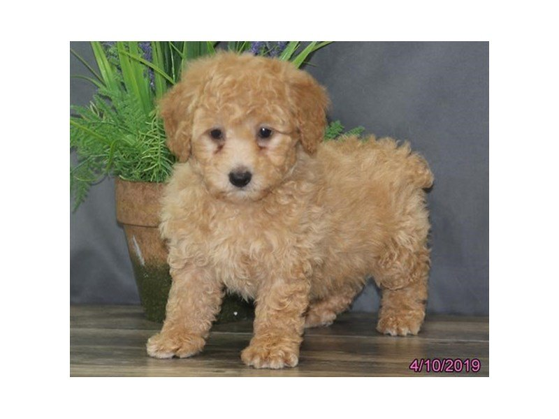 Poodle-Female-Red-2330001-Petland Lewis Center