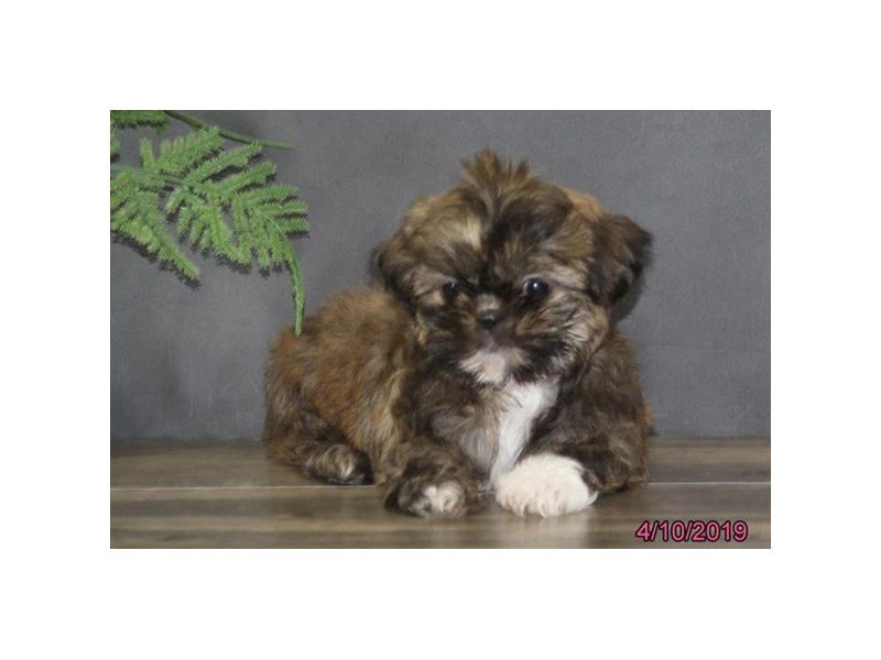 Shih Tzu-Female-Brindle-2330003-Petland Lewis Center