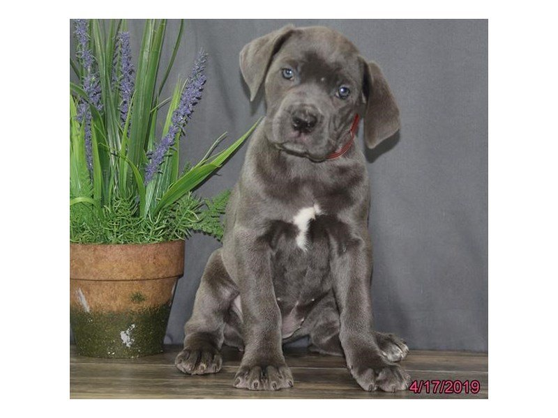 Cane Corso-Female-Blue-2334863-Petland Lewis Center