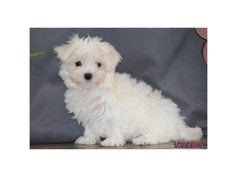 Maltese-Female-White-2270294-Petland Lewis Center