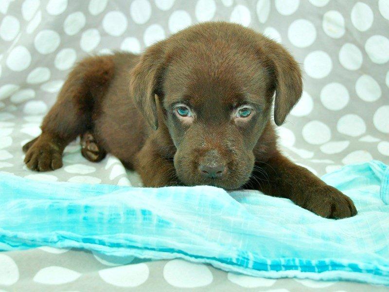 Labrador Retriever-Male-Chocolate-2297398-Petland Lewis Center