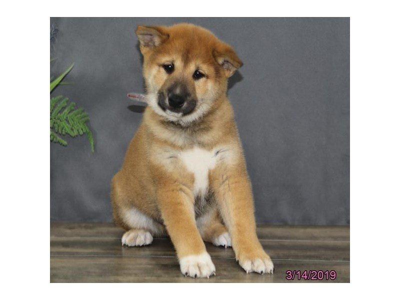 Shiba Inu-Male-Red Sesame-2308666-Petland Lewis Center