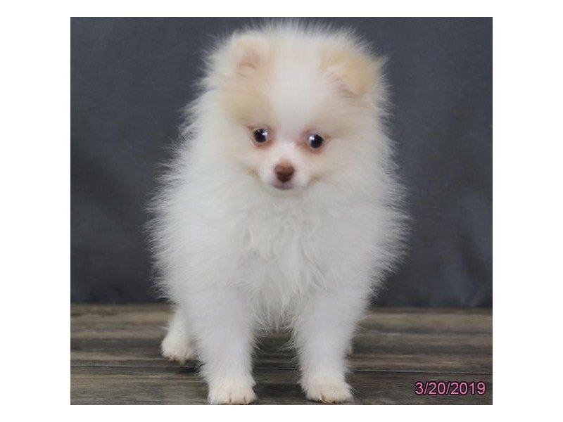 Pomeranian-Male-Cream-2314106-Petland Lewis Center