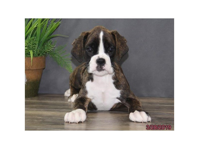 Boxer-Male-Brindle-2319451-Petland Lewis Center