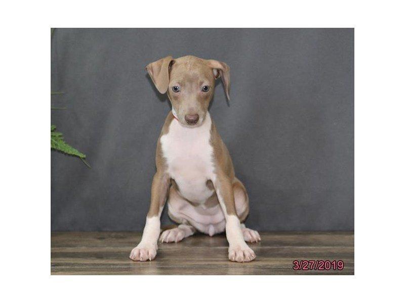 Italian Greyhound-Female-Blue Fawn-2319452-Petland Lewis Center