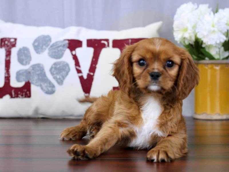 Cavalier King Charles Spaniel-Male-Ruby-2324903-Petland Lewis Center