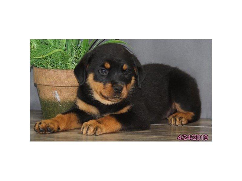 Rottweiler-Female-Black / Rust-2340524-Petland Lewis Center