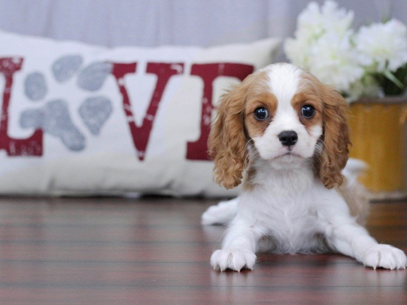 Cavalier King Charles Spaniel-Male-Blenheim / White-2340533-Petland Lewis Center