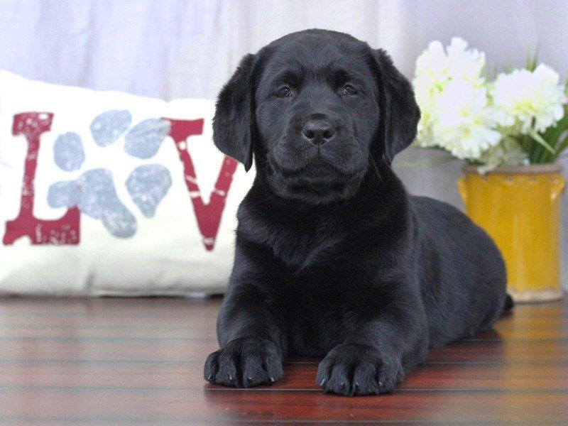 Labrador Retriever-DOG-Female-Black-2340527-Petland Lewis Center