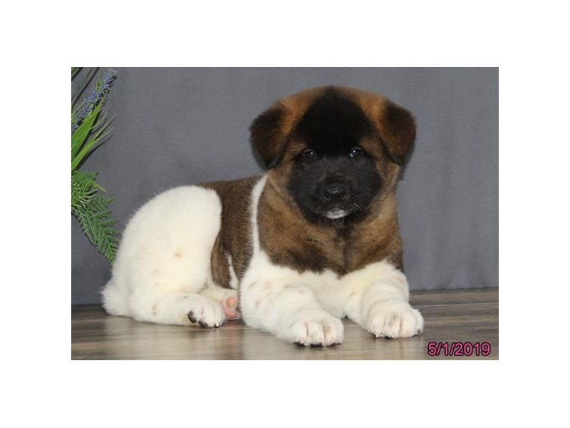 Akita-Female-White / Brown-2346273-Petland Lewis Center