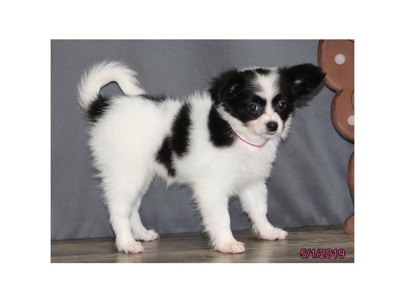Papillon-Male-White / Brown-2346276-Petland Lewis Center