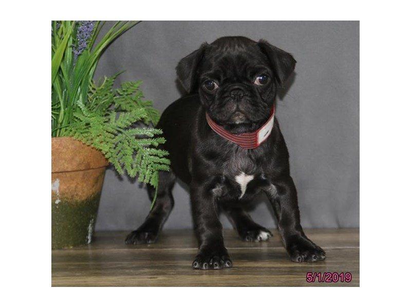 Pug-Female-Black-2346282-Petland Lewis Center